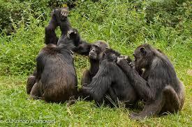 Gorillas grooming