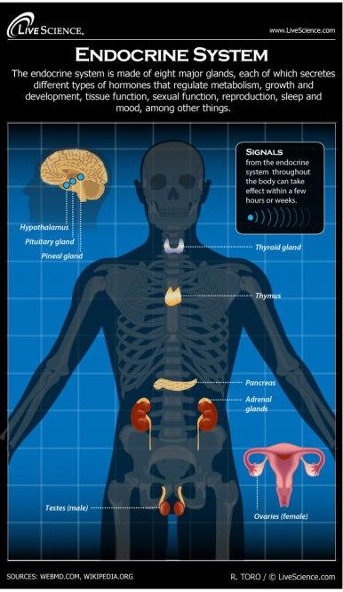 human-body-endocrine-130701